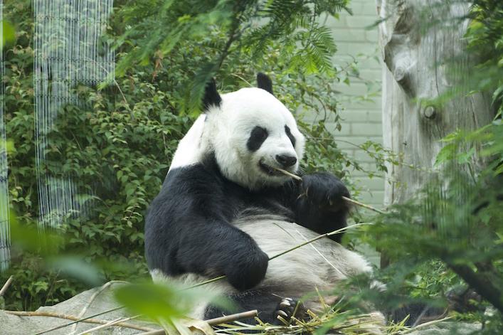 pandaed